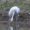 Yellow Billed Spoonbill