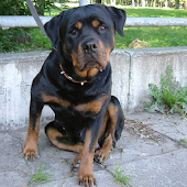 Rottweiler Dogs Jigsaw Puzzles