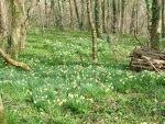 Photo: Coed y Bwl daffodil woods