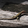 Four-Lined Ameiva, Four-Lined Whiptail
