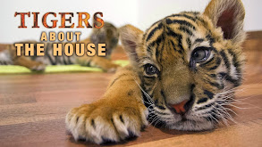 Tigers About the House thumbnail