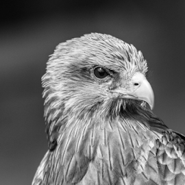 Buzzard by Garry Chisholm - Black & White Animals ( raptor, bird of prey, nature, buzzard, garry chisholm )