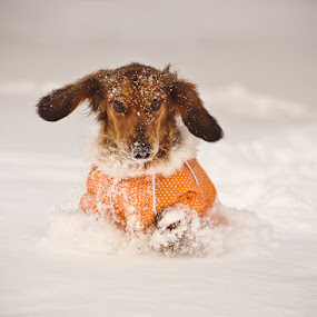 Full Speed Ahead by Artem Sapegin - Animals - Dogs Portraits ( winter, dachshund, pet, doxie, snow, play, game, dog )
