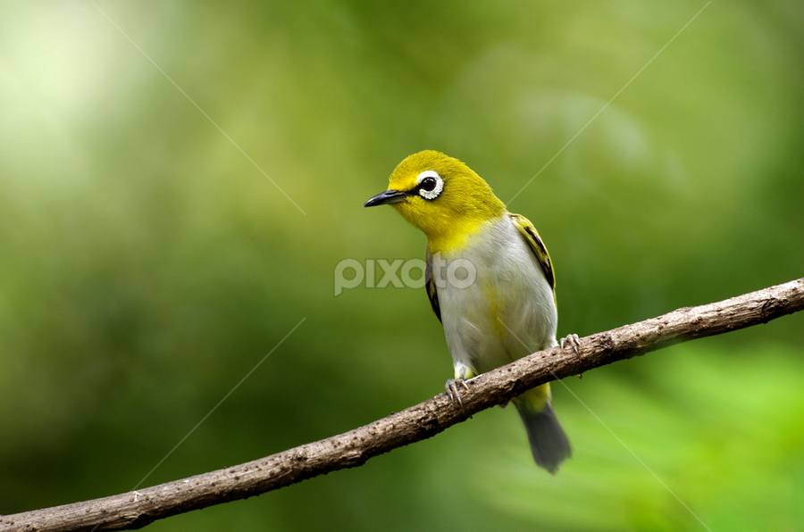 Oriental White Eyes on clean perch by Ken Goh - Animals Birds