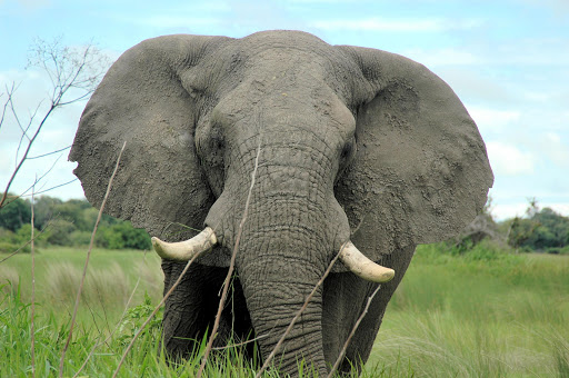 African elephant. File photo.