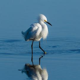 Snowy Egret by Kerry Perkins - Animals Birds