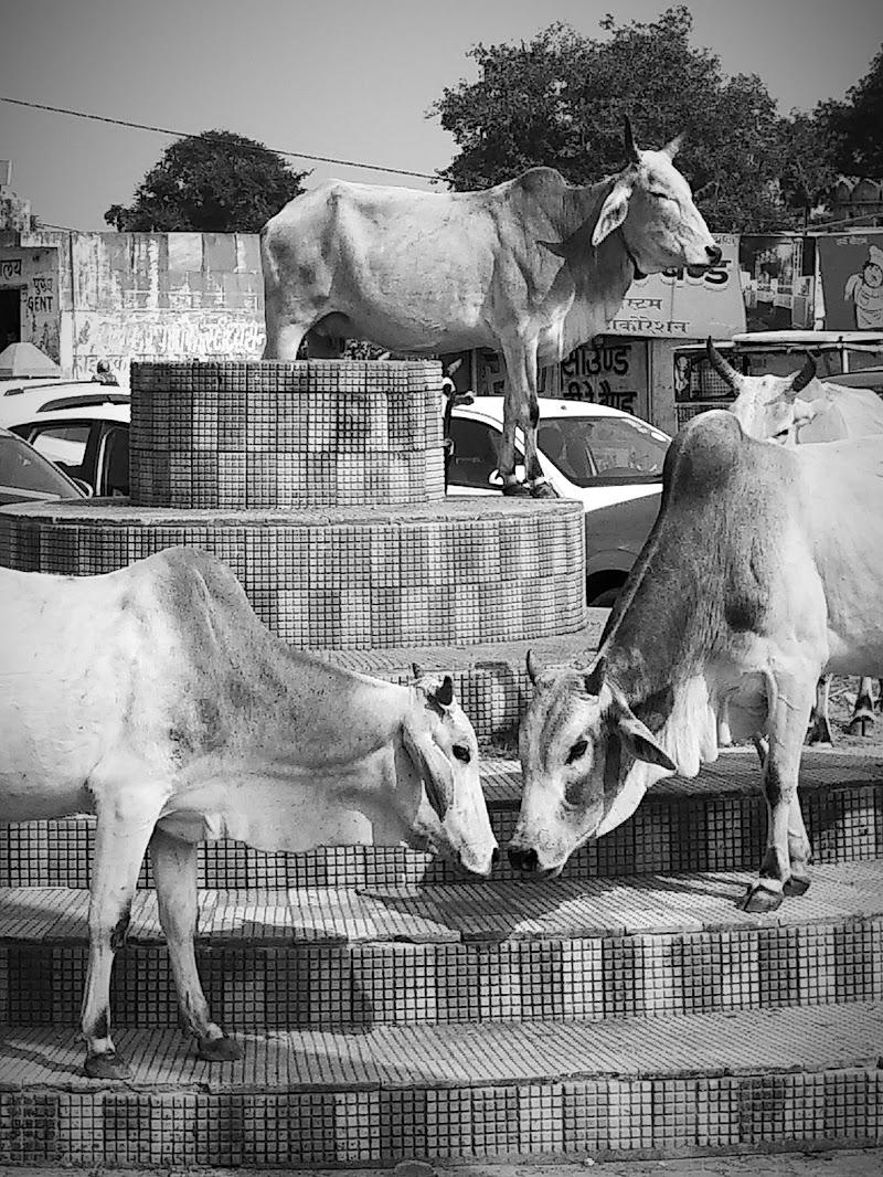 Mucca's party di Sgaidone