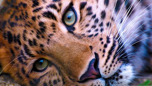 Wild face.Leopard.Wallpaper