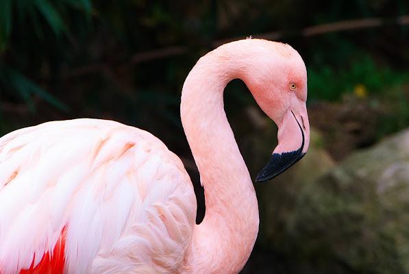 pink flamingo di Nicola Rossignoli photo2017