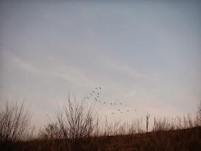 Photo: Łabędzie w locie
