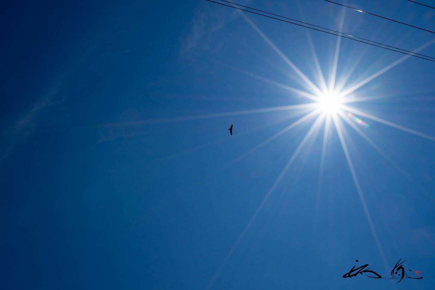 果敢に太陽に向かう鷹