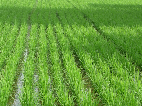 Photo: Rice paddy, Wakayama