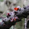 Auricularia polytricha 毛木耳