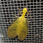 Yellow Dobsonfly (female)
