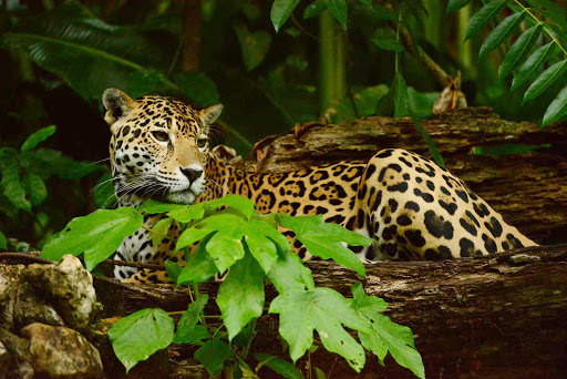 Belize-Zoo-jaguar2.jpg - A jaguar in the Belize Zoo.