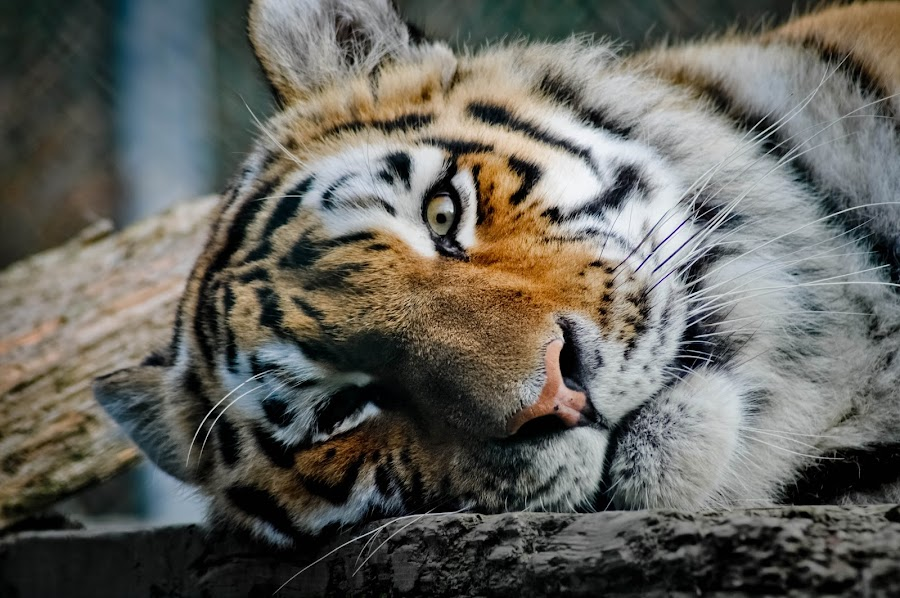 Sleeping Beauty by Melissa Buckley - Animals Lions, Tigers & Big Cats ( tiger, cherry brook zoo, zoo )