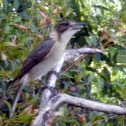 Grey Butcherbird (juvenile)