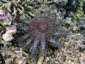Photo: Acanthaster planci (Crown-of-thorns Starfish), Naigani Island, Fiji