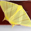 Swallow-tail Moth