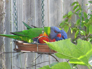 Photo: Year 2 Day 169 - Lorikeets in the Garden #2