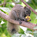Red bellied tree Squirrel