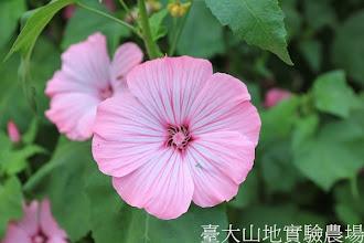 Photo: 拍攝地點: 梅峰-溫帶花卉區 拍攝植物: 花葵 拍攝日期:2013_07_04_FY