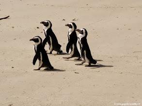 Photo: AFRIQUE DU SUD- Manchots du Cap.