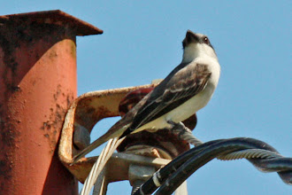 Photo: Gray Kingbird