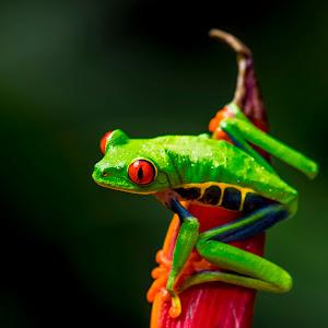 Czerwona żaba7..jpg