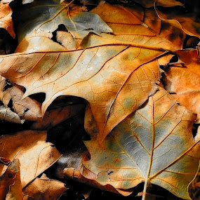 still life by Adrian Konopnicki - Nature Up Close Leaves & Grasses ( pwcfallleaves, park, nature, autumn, fall, still, leaves )