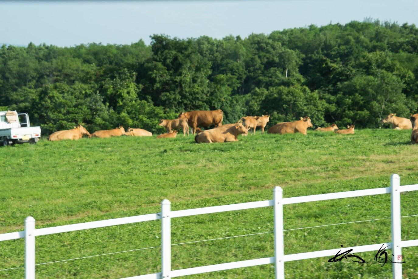 のんびり横たわる赤毛和牛さん