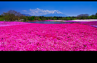 Photo: Fuji san and shiba sakura, year two...Oh, I have forgotten to edit these photos until now...