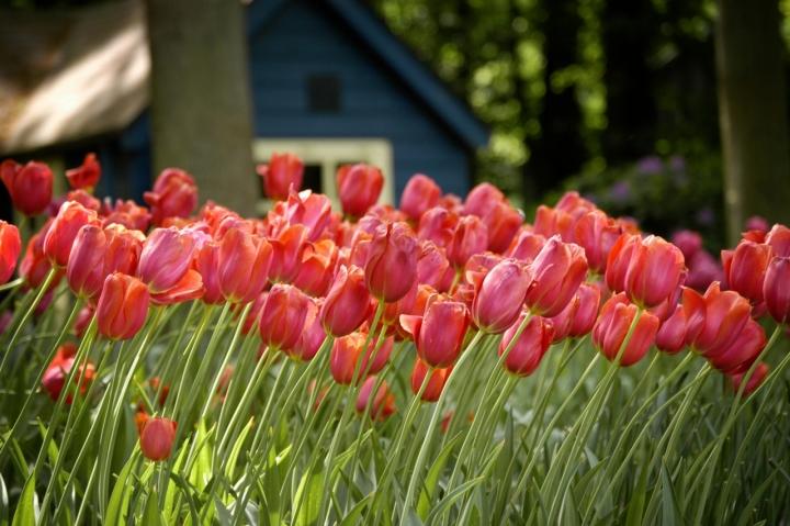 Primavera in Olanda di alessandrocastellani