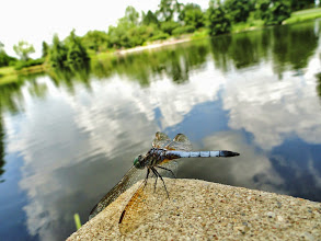 Photo: Blue dragonfly on the reflective lake at Cox Arboretum in Dayton, Ohio.