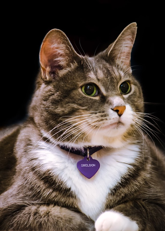 Sheldon Portrait by Joe Sacher - Animals - Cats Portraits ( cat, purple, green, older, maine coon, portrait )