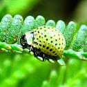 Acacia leaf beetle larva