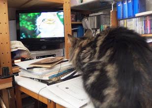 Photo: テレビをガン見する虎伯丸