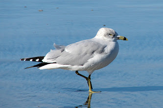 Photo: Ring-billed gull - LaJolla