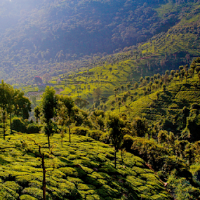 Tea garden by Mahul Mukherjee - Landscapes Mountains & Hills ( colour, mountain, tree, tea, photo, garden, photography )