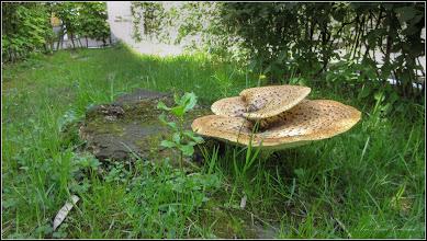 Photo: Păstrăvul de nuc (Polyporus squamosus) - Turda, Str. Rapsodiei, Nr.2-4 - spatiu verde - 2019.04.29