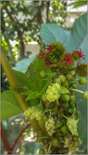 Photo: Ricin (Ricinus communis) - din Turda, Str. Rapsodiei - 2019.08.23