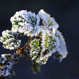 Thick with Frost by Chrissie Barrow - Nature Up Close Leaves & Grasses ( nature, green, white, frost, dark background, leaves, closeup )