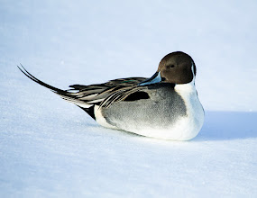 Photo: Northern Pintail