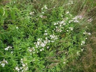 mydlnica lekarska kwiaty Saponaria officinalis flowers