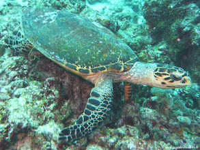 Photo: #024-Tortue sur le site de Disco Reef-Euro-Divers Club Med Kani.