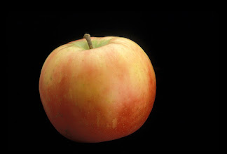 """Photo: 'Honeycrisp' apple developed by the University of Minnesota Agricultural Experiment Station.  Released in 1991.  Fruit breeders Dave Bedfor and Dr. Jim Luby.  Excellent fresh eating, explosively crisp and juicy, unusually long storage life.  Ripens the last week of September in Minnesota.'Honeycrisp' TM apple developed by the University of Minnesota, Agricultural Experiment Station.  Project #21-016, """"Breeding and Genetics of Fruit Crops for Cold Climates."""" Principal investigator: James J. Luby; scientist, David Bedford. Released in 1991.  Excellent fresh eating, explosively crisp and juicy, unusually long storage life.  Ripens the last week of September in Minnesota."""