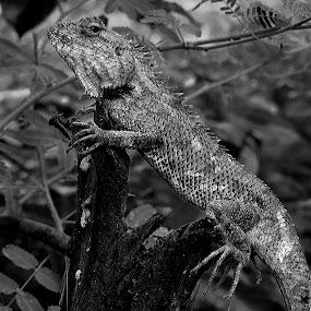 Kachindo(india) by Chhaditya Parikh - Animals Reptiles