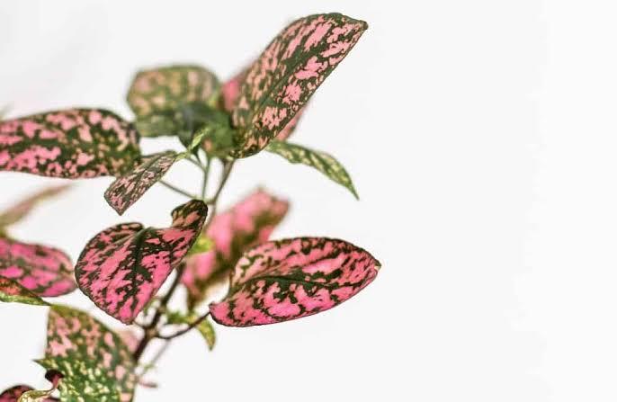 รวม 5 ต้นไม้ด่างสีชมพู ยอดนิยม ที่ใครๆ ก็อยากปลูก !  02