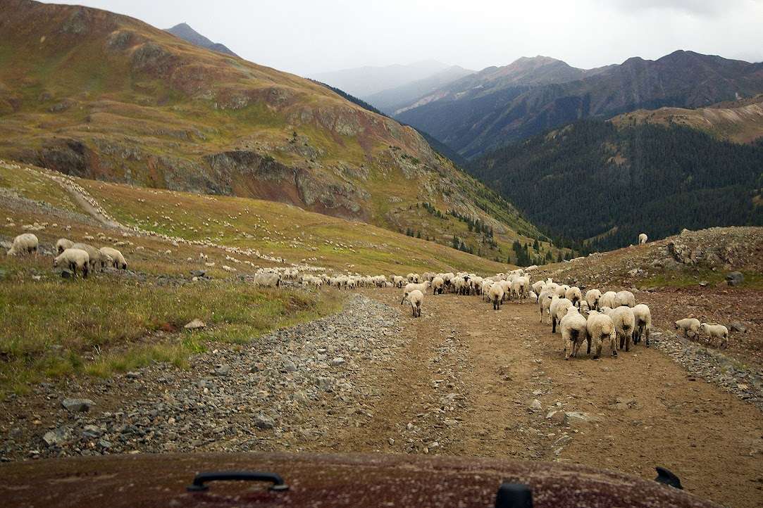 a small portion of the sheep being herded on Corkscrew Gulch