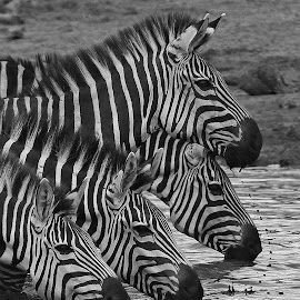 A Zebra drink Party! by Anthony Goldman - Black & White Animals ( zebra, tanzania, drinking, mammal, nature, east africa, animals, water, wild, wildlife,  )